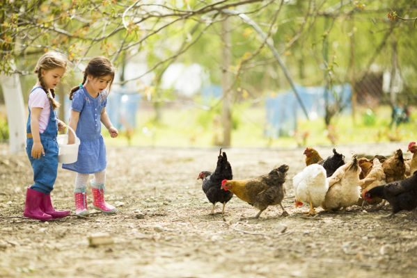 guide to raise chickens for hobby