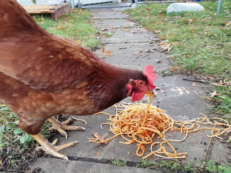 Chickens eating spaghetti