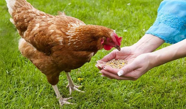 Hand feeding a chicken